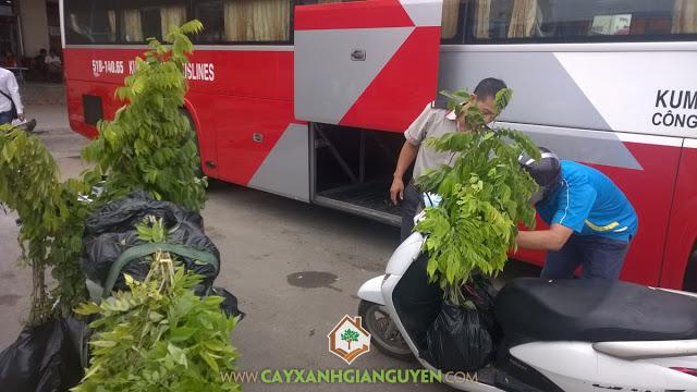 Cây sưa đỏ, Cây xanh Gia Nguyễn, Cây giống lâm nghiệp, Cây giống, Giống cây sưa đỏ