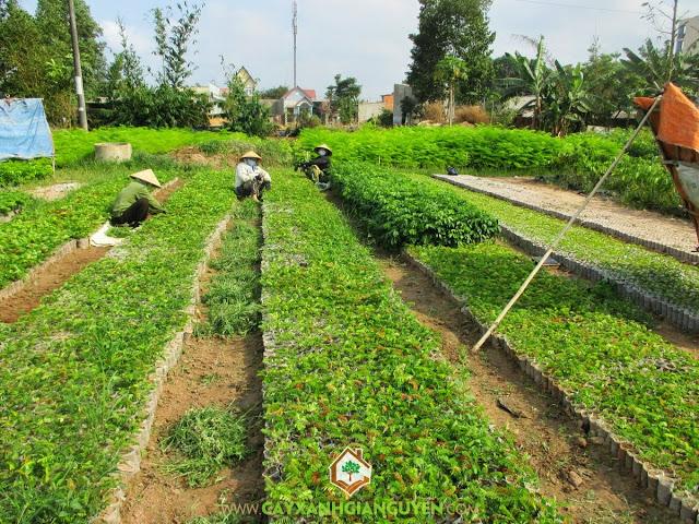 Cách chăm sóc cây Cẩm Lai, Cây Cẩm Lai, Quá trình bón phân cho cây Cẩm Lai, Vườn Cây Cẩm Lai, Cẩm Lai