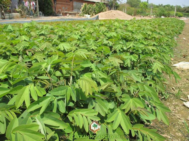 Cây Muồng Đen, Cách trồng cây tiêu, Cây hồ tiêu, Cách trồng cây muồng đen, Muồng đen