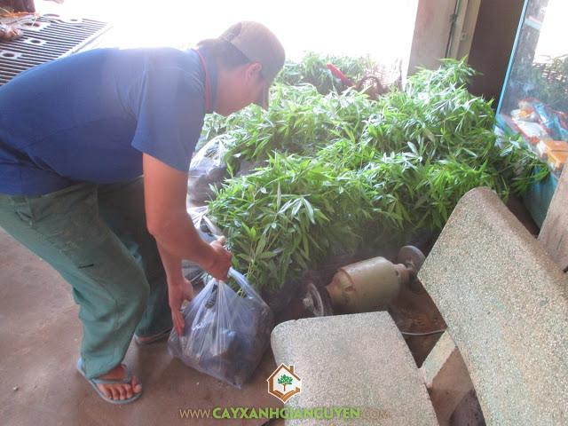 Cây Xanh Gia Nguyễn, Cây Trôm, Cây Trôm giống, Vườn trôm xanh, Mủ trôm