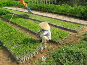 Giống cây lâm nghiệp, Trồng cây gỗ cẩm lai, Cẩm Lai, Hồ Tiêu, Vườn ươm Cây Xanh Gia Nguyễn