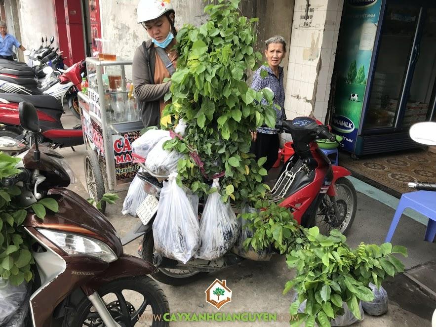 Giáng Hương, Cây giáng hương, Vườn ươm Cây Xanh Gia Nguyễn, Cây gỗ giáng hương, Cây giống giáng hương