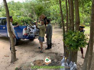 Cây lát hoa giống, Giống cây lát hoa, Vườn ươm tỉnh Bình Phước, Vườn ươm Cây Xanh Gia Nguyễn, Cây giống